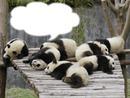 *Famille Pandas*