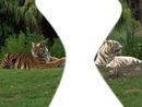 tigre blancs