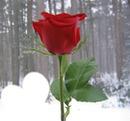 une rose pour gitannn