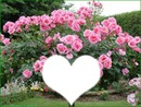 magnifique rosier