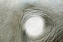 oeil elephant