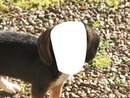 Visage de beagle