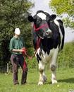 la plus grosse vache