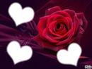 les rose rouge montre l'amour