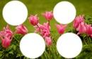jolies tulipes rose