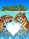 amour de tigres