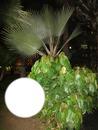 Palmen vor dem Hotel Santa Catalina