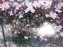 Clématites fleurs