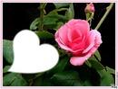 jolie rose rose*