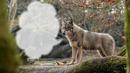 Loup 1 photo