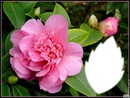Fleur Camélia