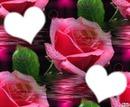 reflets d'une rose