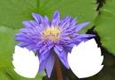 laly fleur mauve