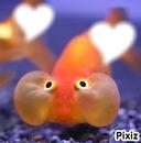 poisson chinois
