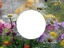 daisies in rain