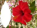 feuille hibiscus