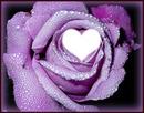 La rose enchantée