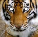 yeux de tigre