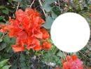 Bougainvilleas oranges