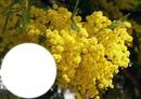 mimosa de la cote d'azur