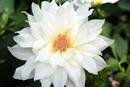 the flower ichrak