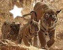 Bébés tigres et leur maman
