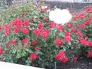 Premieres roses