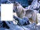 farkasos kép