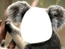 koala- cadre