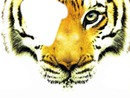 tête de tigre 2