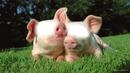 couple cochon