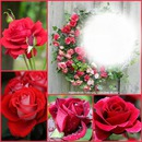 Les roses rouge
