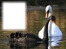 Cygnes blanc et noir - différence