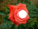 un  insecte  ou  une  figure  sur la rose