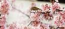 cerisier du japon oiseau