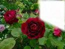 Jardin de Roses rouge