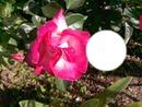 fleur rosse