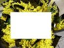 Mimosa -printemps-1 photo