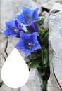 Fleurs de montagne isabella
