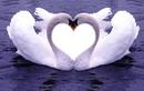 Cisne-coração
