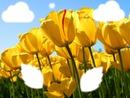 les tulipes au printemps