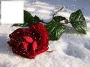 Rose rouge dans la neige