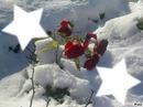 Rose dans la neige
