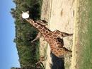 être une girafe