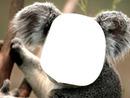 visage de koala