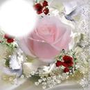 Charito-rosa