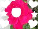 """""""Rose Rouge de Nouvelle-Calédonie"""""""