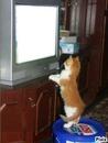 chat qui regarde la télé