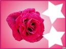 La rose aux étoile