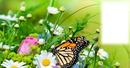 Pillangó és virágok